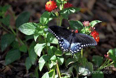 Photograph - Spicebush Swallowtail Butterfly IIi by Denise Bruchman