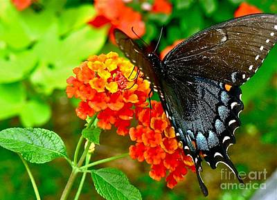 Photograph - Spicebush Swallowtail Butterfly by Jean Wright