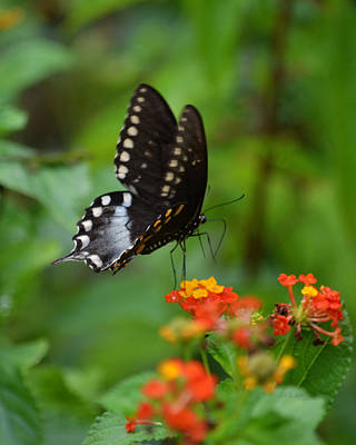 Photograph - Spicebush Swallowtail Butterfly by rd Erickson