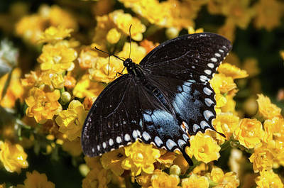 Photograph - Spicebush Swallowtail Butterfly  by Saija Lehtonen