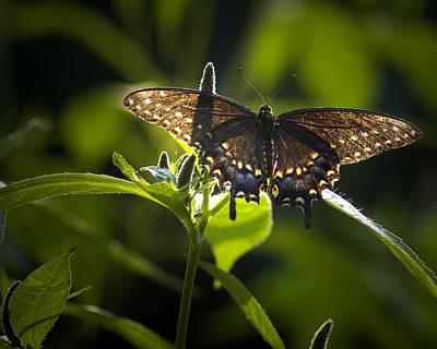 Photograph - Spicebush Swallowtail I by Wade Clark