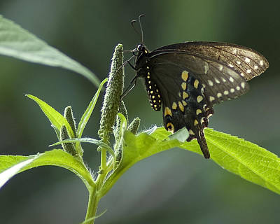 Photograph - Spicebush Swallowtail IIi by Wade Clark