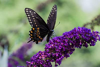 Photograph - Spicebush Swallowtail by Jeff Folger