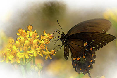 Photograph - Spicebush Swallowtail by Keith Smith