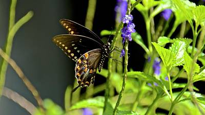 Photograph - Spicebush Swallowtail On Blue Porterweed by Carol Bradley