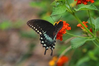 Photograph - Spicebush Swallowtail On Lantana by Kathryn Meyer