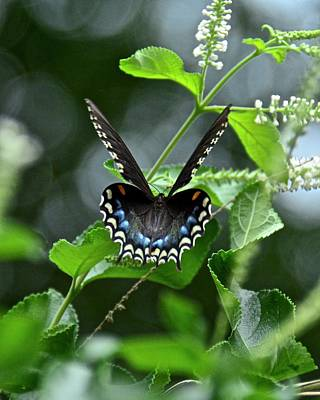 Photograph - Spicebush Swallowtail On Sweet Almond by Carol Bradley