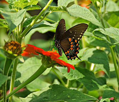 Spicebush Swallowtail Print by Sandy Keeton