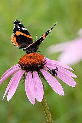 Cone Flower Photograph - Spider And Butterfly On Cone Flower by Larry Ricker
