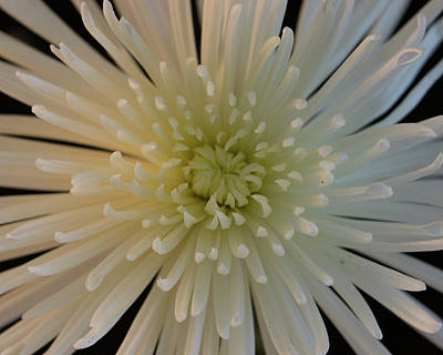 Spider Chrysanthemum Close-up Art Print