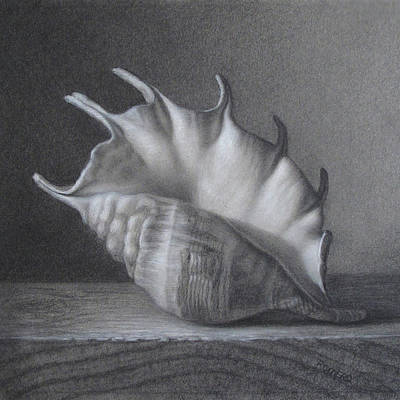Drawing - Spider Conch by Rita Romero