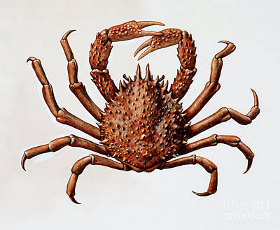 Spider Drawing - Spider Crab Or Spinous Spider Crab by English School