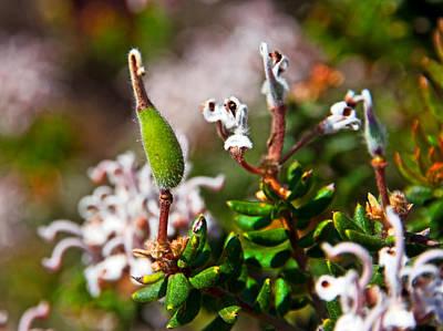 Photograph - Spider Flower Seed Pod by Miroslava Jurcik