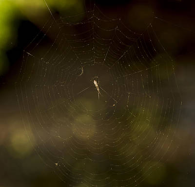 American West - Spider in His Creation by Tracy Winter
