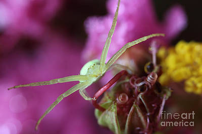 Photograph - Spider In The Crepe Myrtle Tree by Mike Eingle
