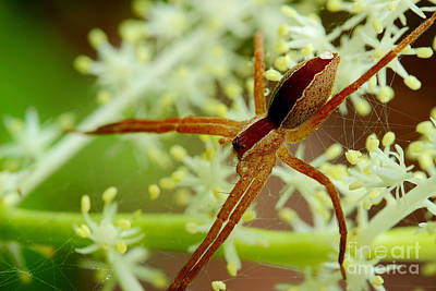 Photograph - Spider In The Flowers by Michael Eingle
