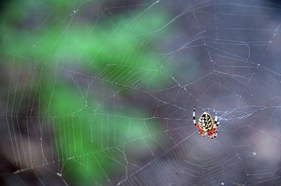 Photograph - Spider In Web by David Arment