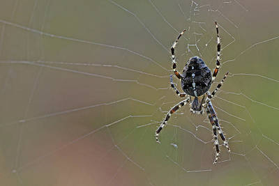 Photograph - Spider by Jos Verhoeven