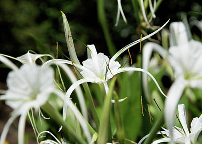 Photograph - Spider Lilies by Ed Waldrop