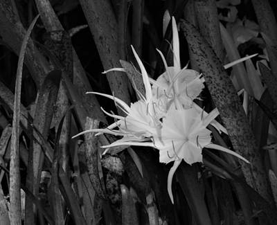 Photograph - Spider Lily On The Rainbow by Warren Thompson