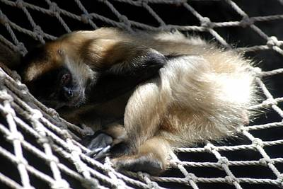 Photograph - Spider Monkey Enjoys Hammock by Kenny Glover