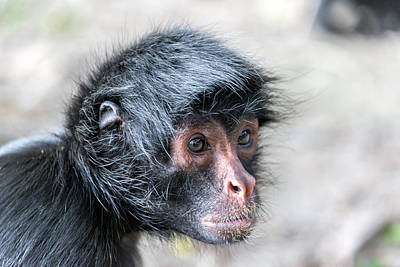 Benis Photograph - Spider Monkey Face Closeup by Jess Kraft