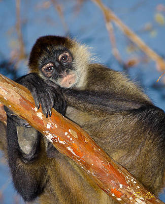 Photograph - Spider Monkey Posing by Rikk Flohr