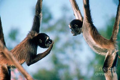 Photograph - Spider Monkeys Ateles Sp. Playing by Gilbert S Grant