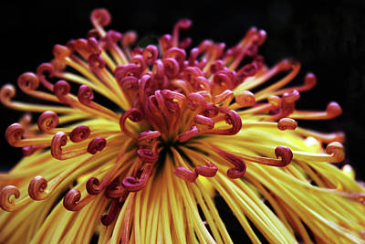 Photograph - Spider Chrysanthemum by Jessica Jenney