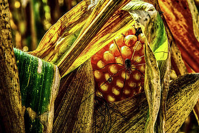 Photograph - Spider On Corn by Pixabay