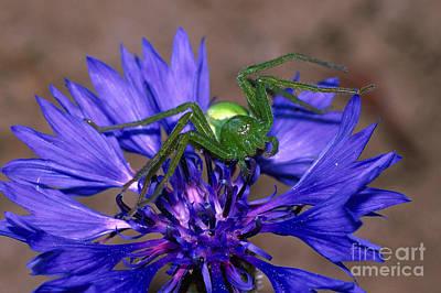Huntsman Spider Photograph - Spider On Cornflower by Karl-Heinz Jacobi