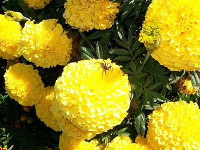 Photograph - Spider On Marigolds  by Sharon Duguay