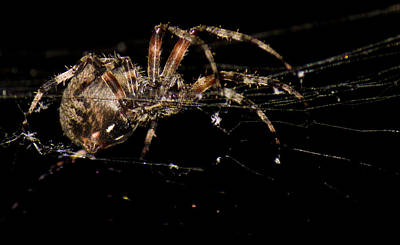 Photograph - Spider On Web by Jonny D