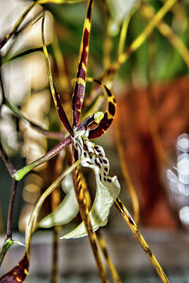 Photograph - Spider Orchid by Alana Thrower