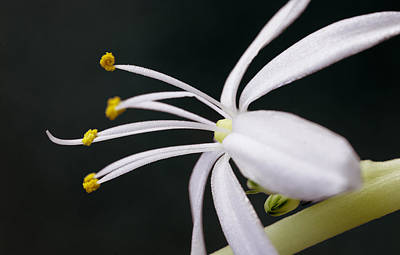 Photograph - Spider Plant Flower by Christopher Meade