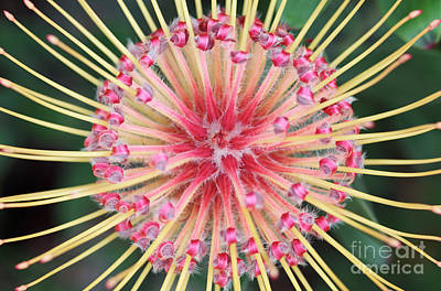Proteas Photograph - Spider Protea Flower by Neil Overy
