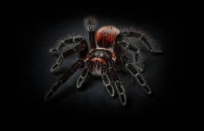 Photograph - Spider Tarantula Arachnophobia Art Photography by Wall Art Prints