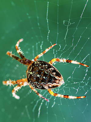 Spider Tush 2 Art Print