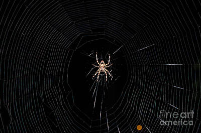 Photograph - Spider Wed by Donna Brown