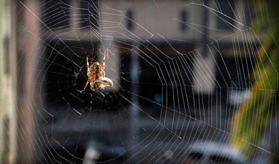 Photograph - Spider With Egg Sac by Bonnie Follett