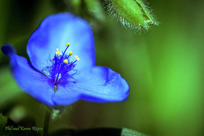 Photograph - Spiderwort by Phil and Karen Rispin