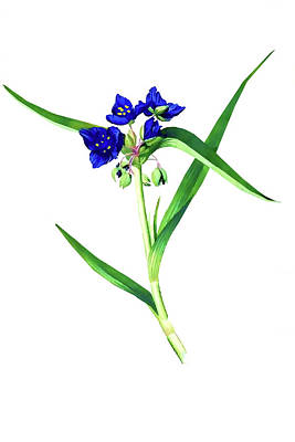 Photograph - Spider Wort by Tom Prendergast
