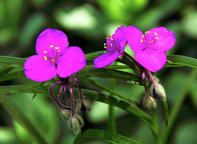 Photograph - Spiderwort by Allen Nice-Webb