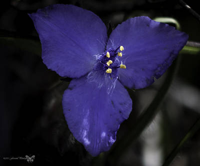 Photograph - Spiderwort  by Debra Forand