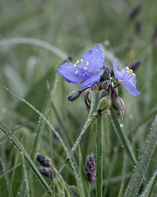 Photograph - Spiderwort II by James Barber