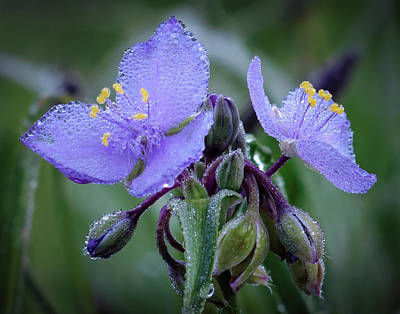 Spiderwort Print by James Barber
