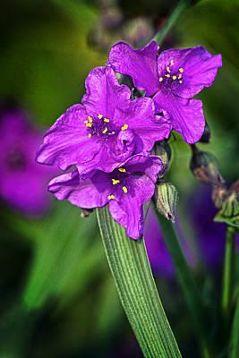 Flower Photograph - Spiderwort by Marcia Colelli