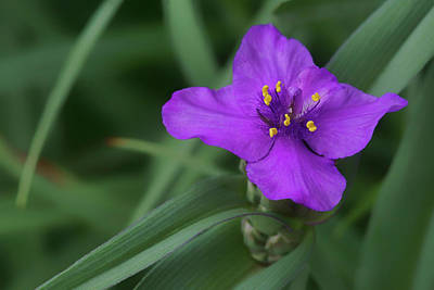 Photograph - Spiderwort by Nikolyn McDonald