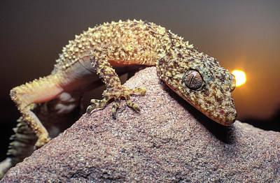 Spikey Australian Gecko Art Print