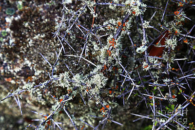 Photograph - Spiky Matagouri And Lichen by Nareeta Martin